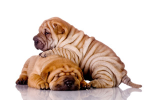 dog-picture-photo-shar-pei-puppies